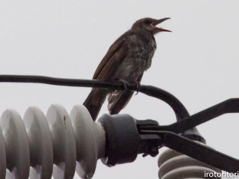 幼鳥  (ヒヨドリ) 2017/08/14_d0146592_00361002.jpg