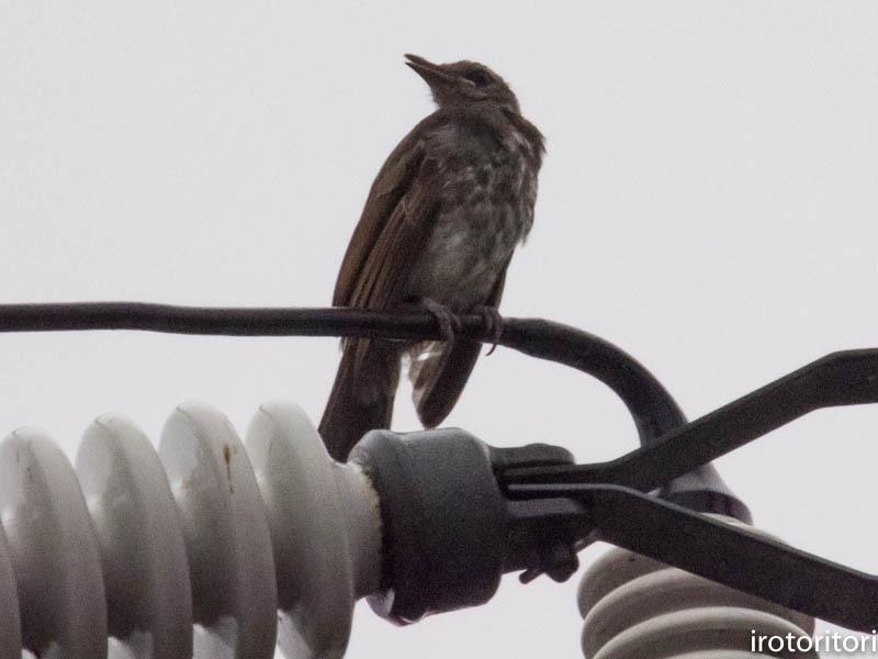 幼鳥  (ヒヨドリ) 2017/08/14_d0146592_00363833.jpg