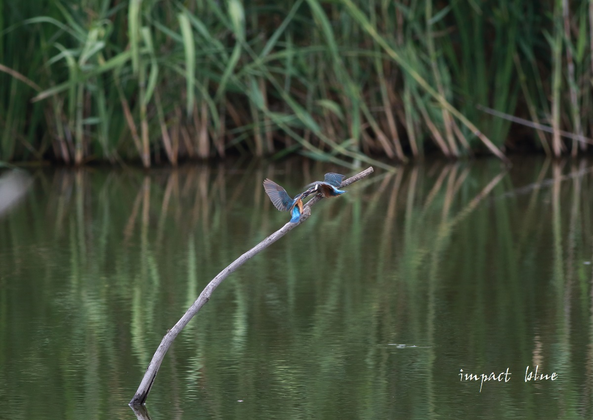 素敵な沼のカワセミっ子\(^o^)/_a0355908_13585938.jpg
