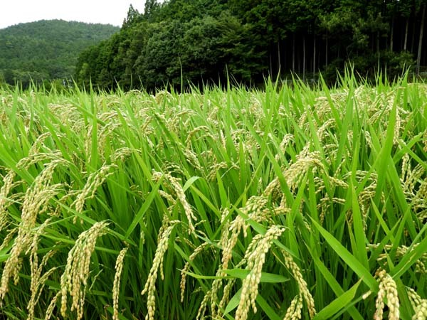 山里 岩倉村松の田圃_e0048413_14384599.jpg