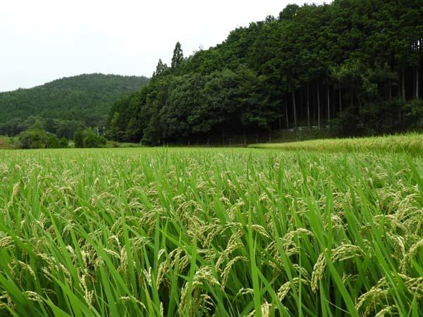山里 岩倉村松の田圃_e0048413_14385297.jpg
