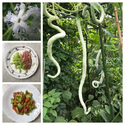 ヘビウリ Snake Gourd_c0051102_07325878.jpg
