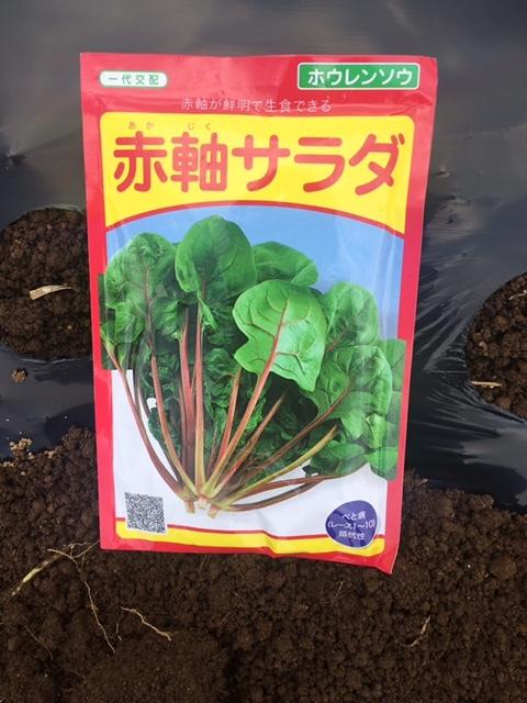 本日より 蕪 ほうれん草 ラディッシュの播種開始します_c0222448_12103209.jpg