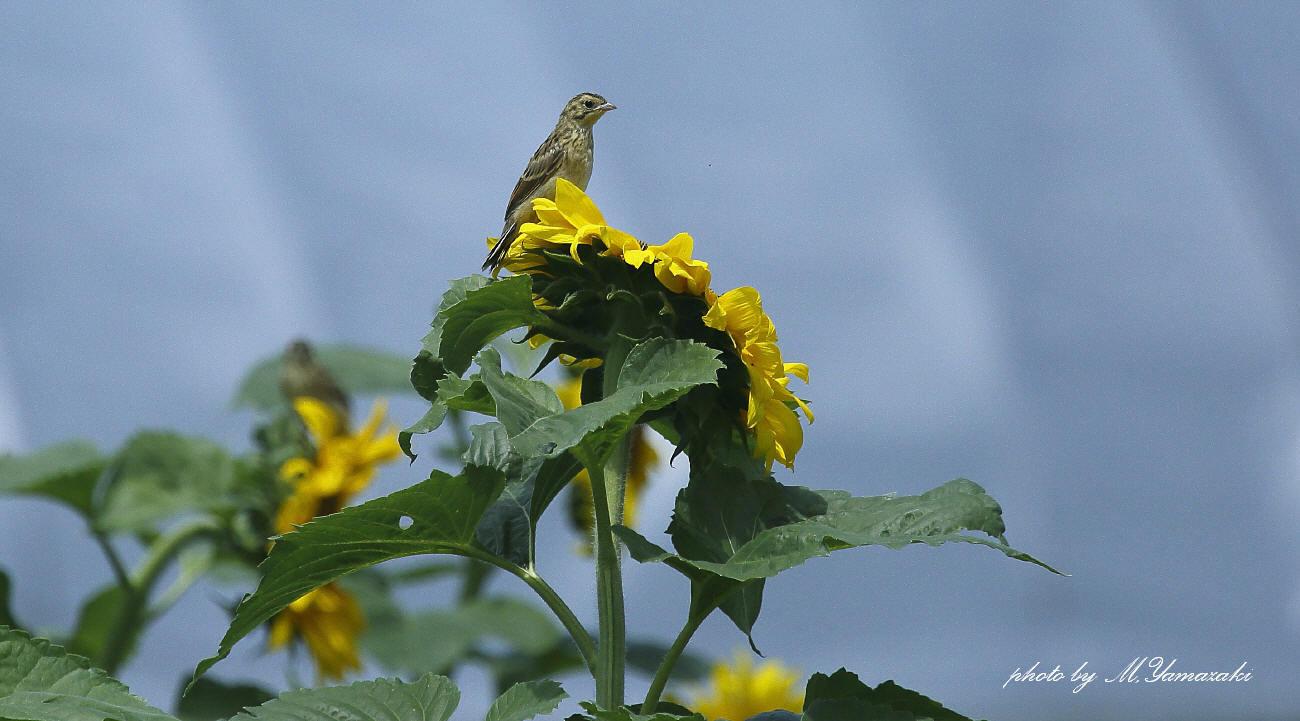 ヒマワリとホオアカの幼鳥_c0217255_14523607.jpg