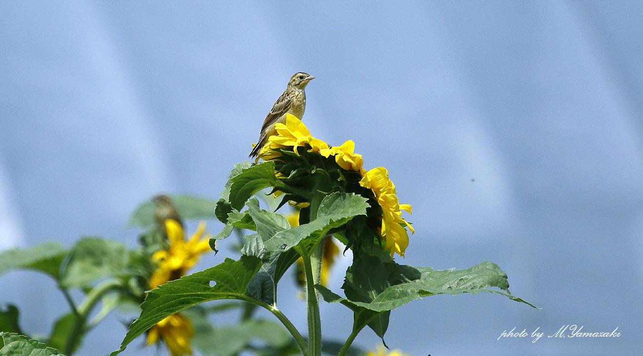 ヒマワリとホオアカの幼鳥_c0217255_14524411.jpg