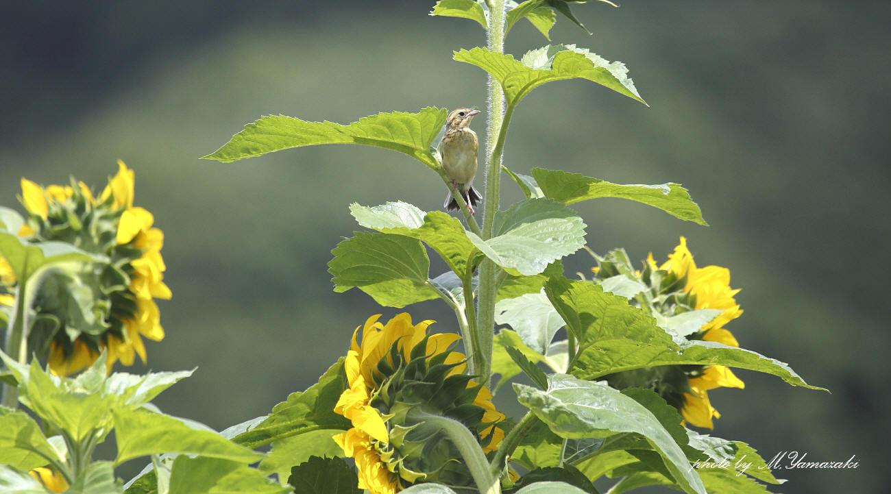 ヒマワリとホオアカの幼鳥_c0217255_14541240.jpg
