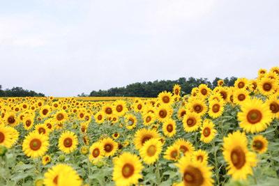 夏の景色 ひまわり_f0078756_20210201.jpg