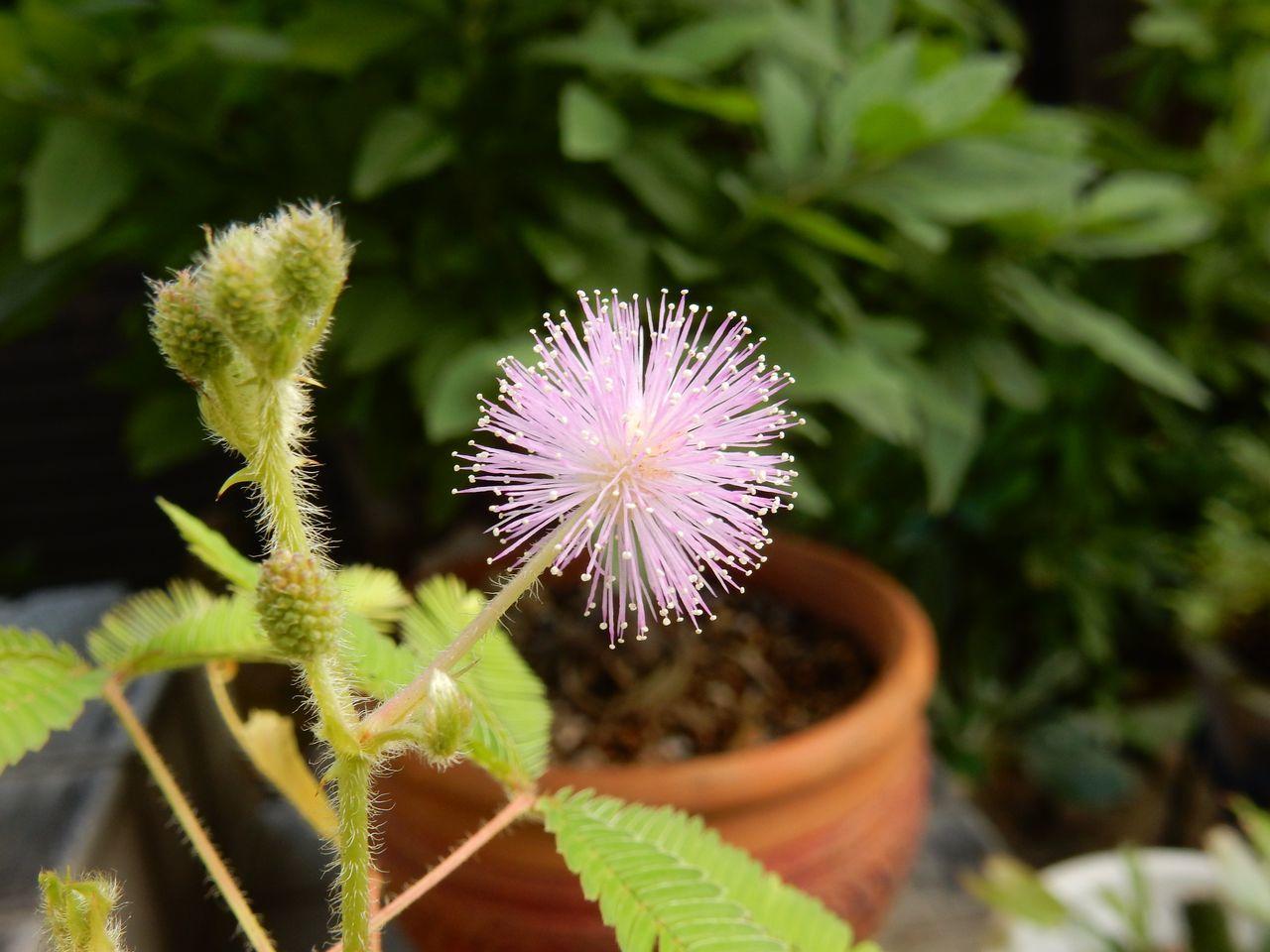 ようやくオジギソウの花が咲いた_c0025115_22103777.jpg