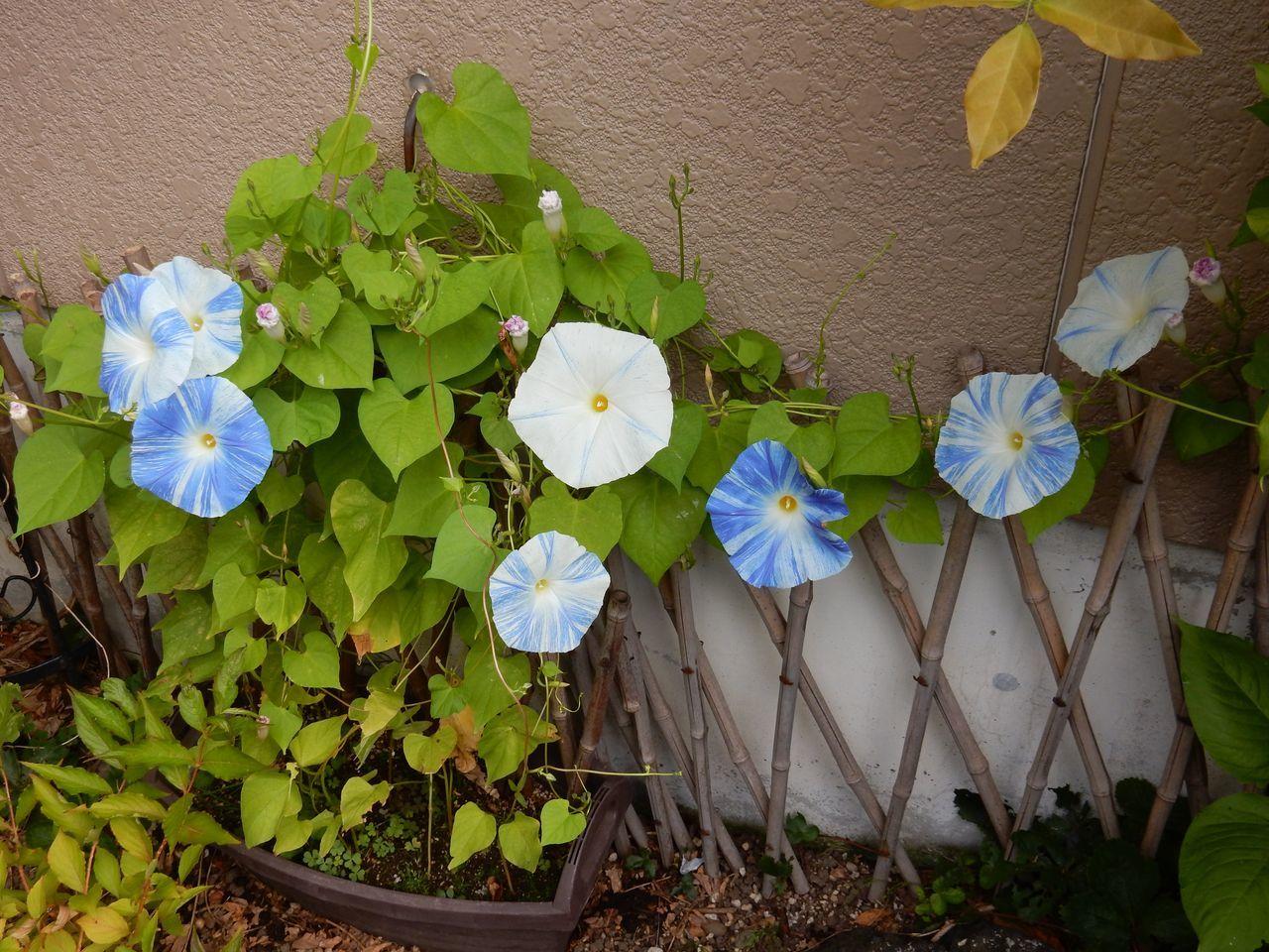 ようやくオジギソウの花が咲いた_c0025115_22105895.jpg