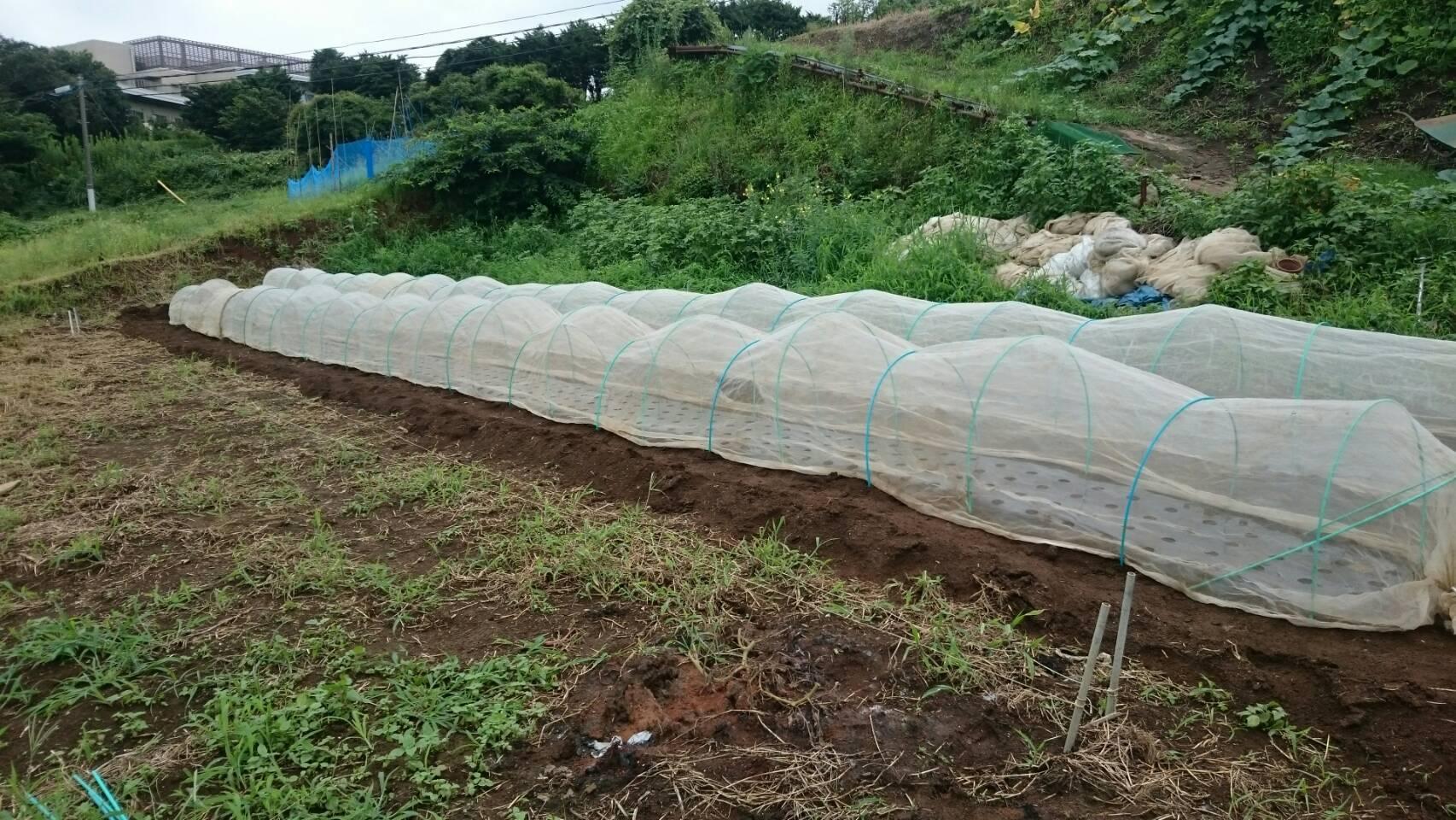 昨日播種した 畝 昨晩の豪雨で心配でした  結果セーフ!_c0222448_13532074.jpg