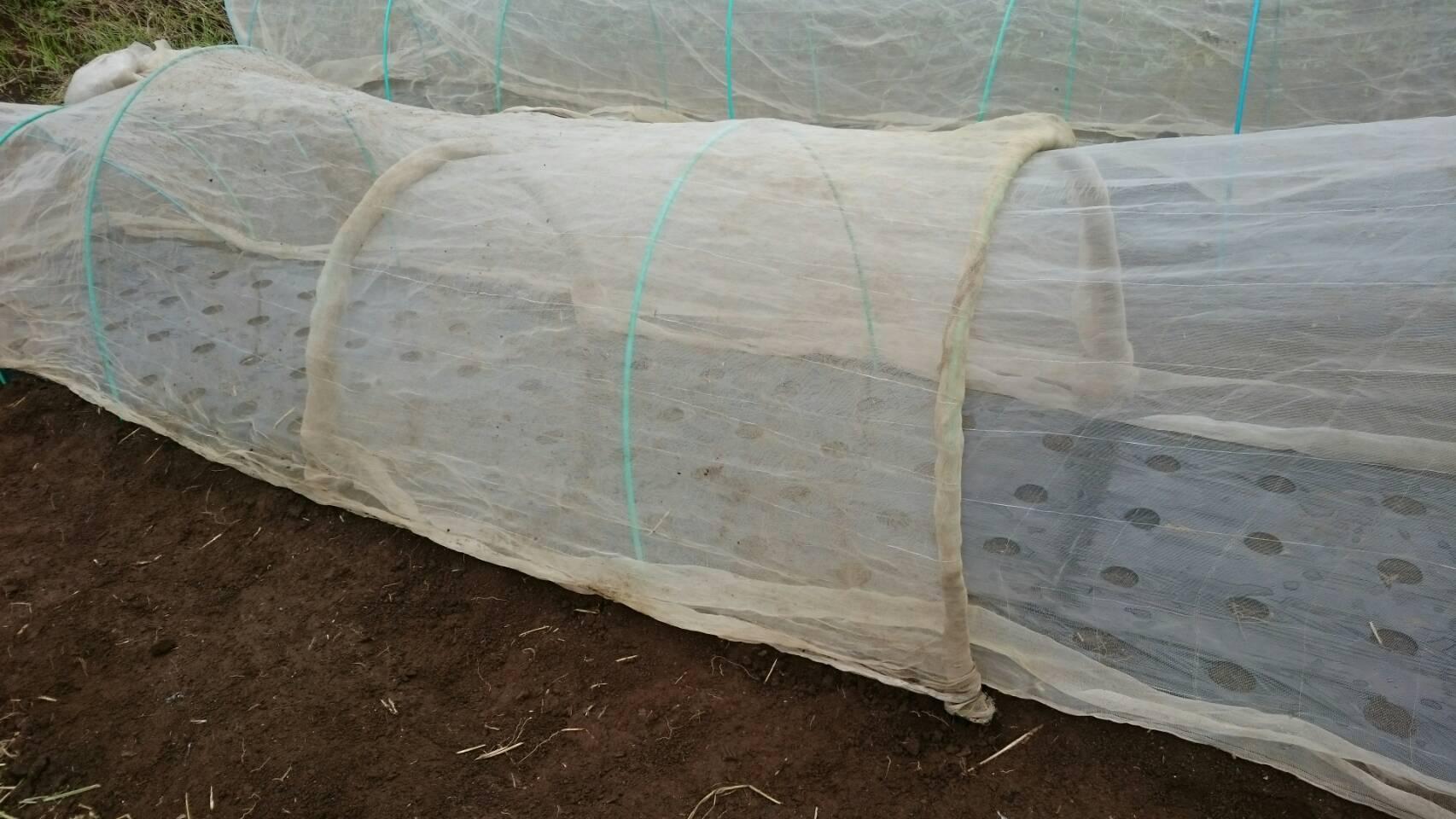 昨日播種した 畝 昨晩の豪雨で心配でした  結果セーフ!_c0222448_13533267.jpg