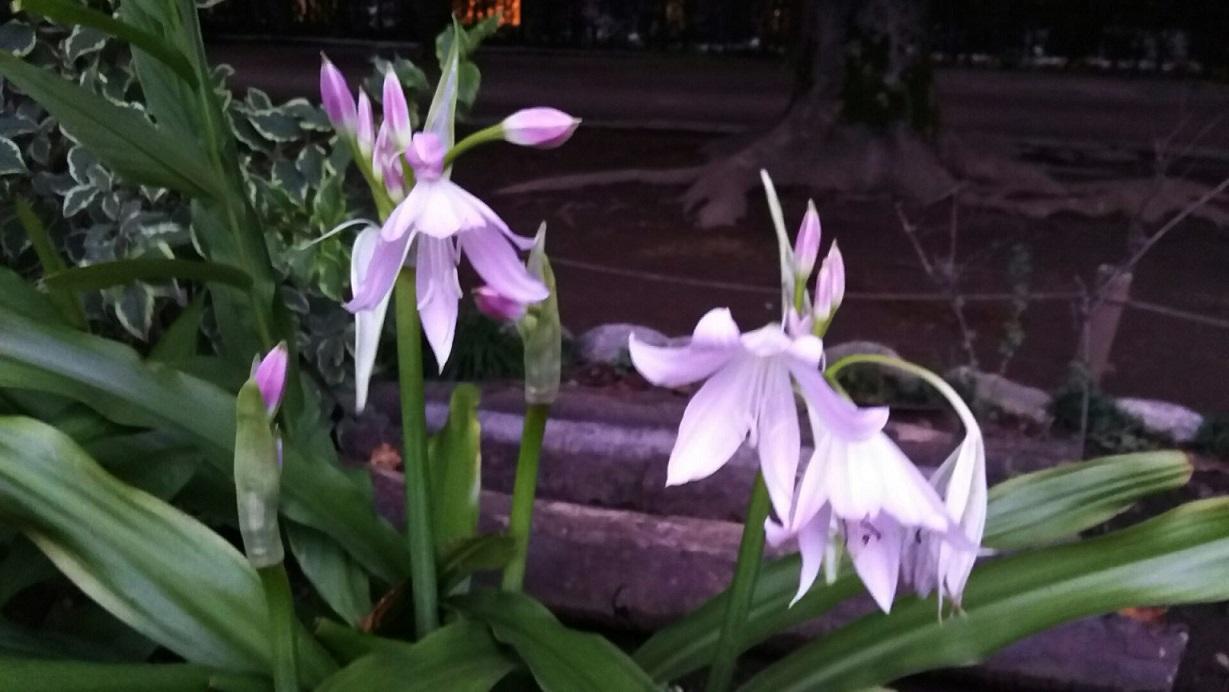 この花が咲いたので、嬉しくて呑み過ぎました_a0107574_22393103.jpg
