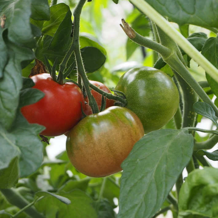 トマトも赤くなり_a0292194_16561643.jpg