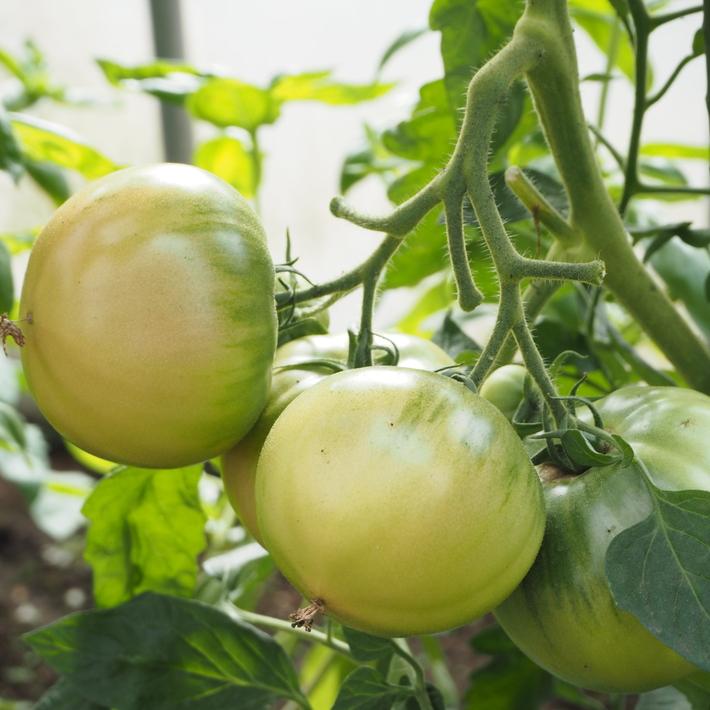 トマトも赤くなり_a0292194_170420.jpg