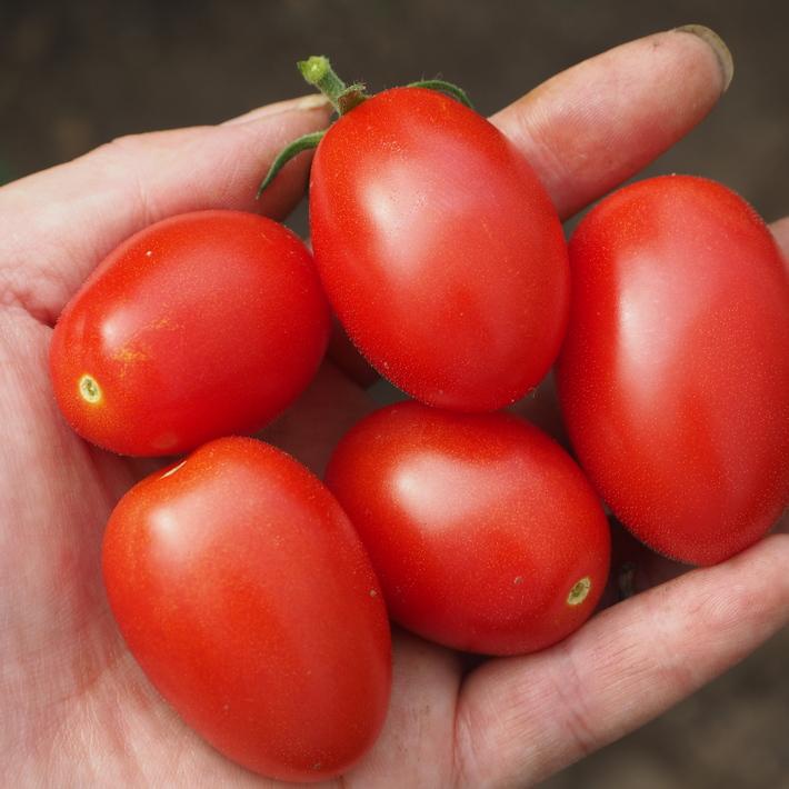 トマトも赤くなり_a0292194_1761550.jpg