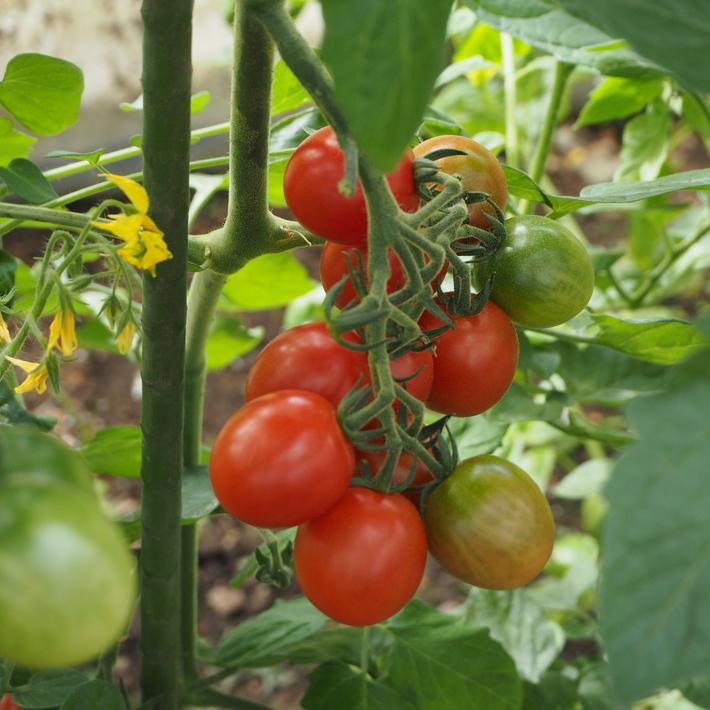 トマトも赤くなり_a0292194_1792918.jpg