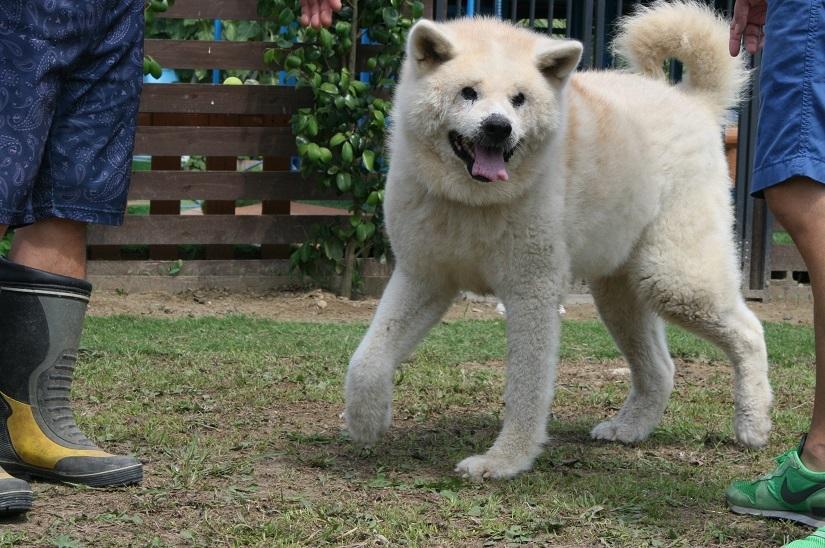 立派な秋田犬になってました_f0242002_22423944.jpg