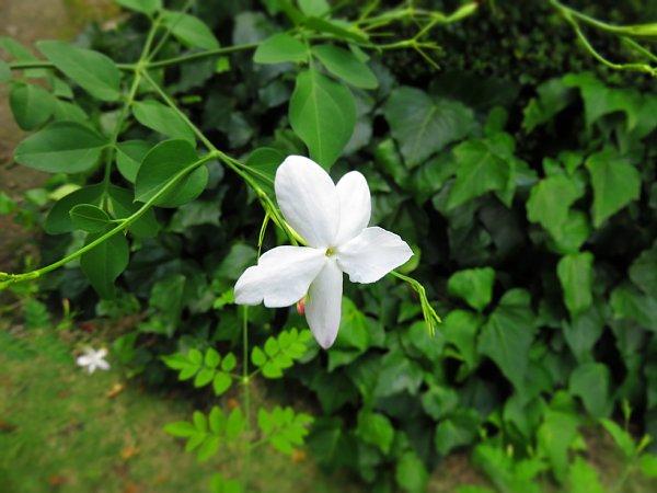 2017年8月28日 咲き続けるジャスミンの花_b0341140_685992.jpg