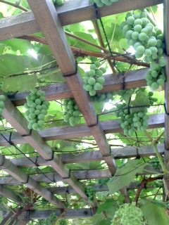 たわわに/Grape shelf_d0090888_14563053.jpg