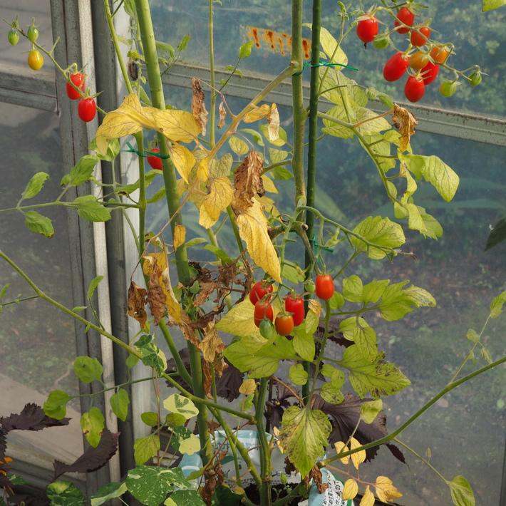 トマトも赤くなり_a0292194_16401976.jpg