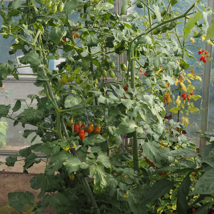 トマトも赤くなり_a0292194_16405019.jpg
