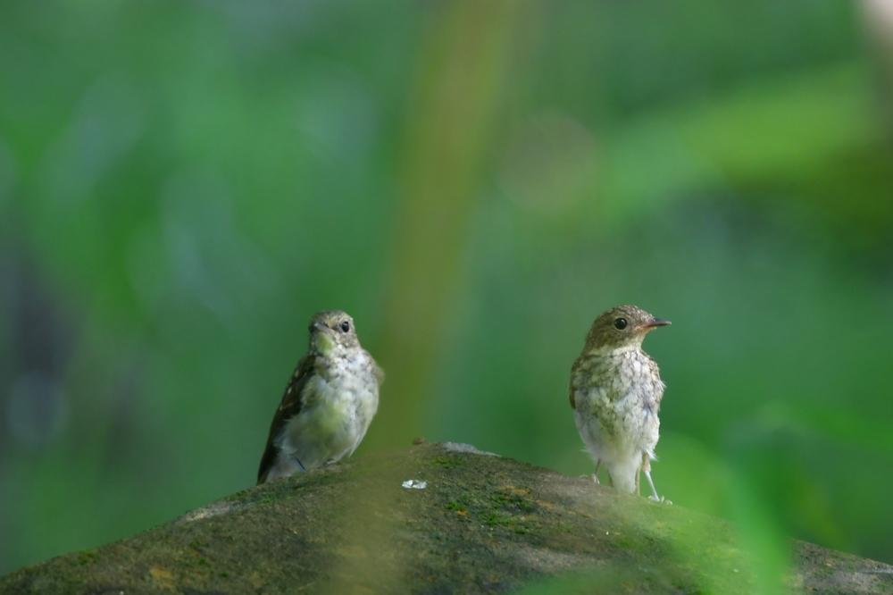 幼鳥 キビタキ_f0053272_21285500.jpg