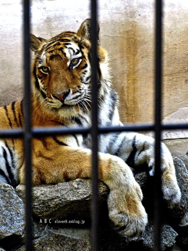 Tiger_f0315034_15445472.jpg