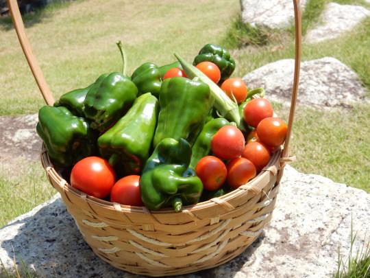 '17,8,24(木)ミニトマトとピーマンの収穫がすごい!_f0060461_08170485.jpg