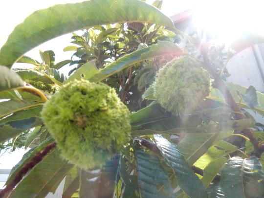 '17,8,24(木)ミニトマトとピーマンの収穫がすごい!_f0060461_08223005.jpg