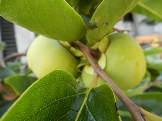 '17,8,24(木)ミニトマトとピーマンの収穫がすごい!_f0060461_08232238.jpg