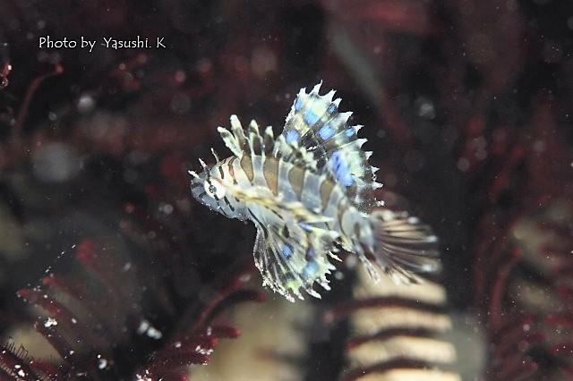 キュート系の幼魚_c0211615_13592876.jpg