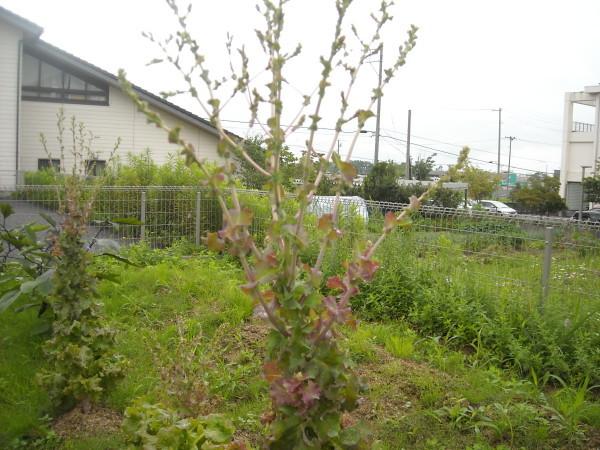 畑の様子 8月_a0115956_12062584.jpg
