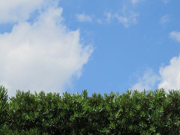 2017年8月31日 生垣の上の青い空と白い雲_b0341140_1349440.jpg