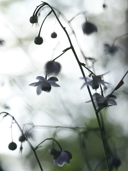 森の妖精 レンゲショウマ_c0217255_10355057.jpg