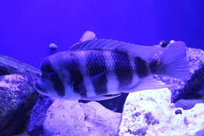 サンシャイン水族館~「東南アジアの水辺」、「タンガニーカ湖」_b0355317_11141350.jpg