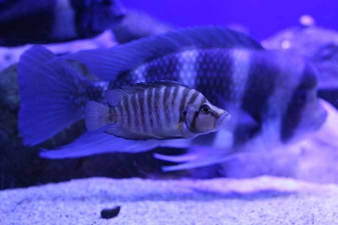 サンシャイン水族館~「東南アジアの水辺」、「タンガニーカ湖」_b0355317_11184533.jpg