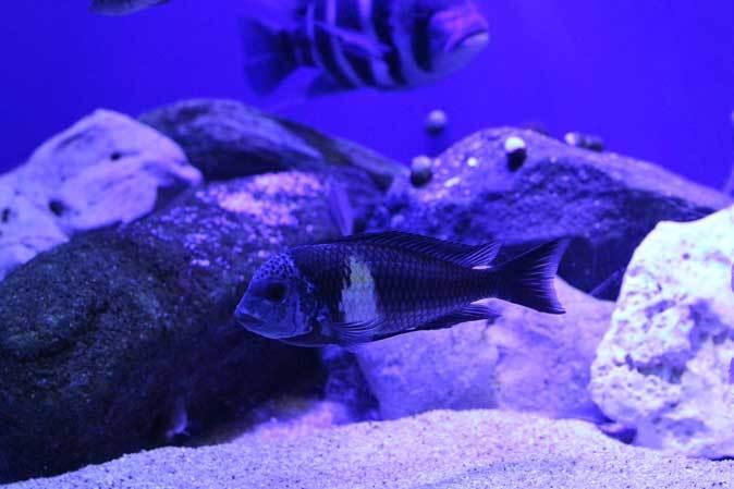 サンシャイン水族館~「東南アジアの水辺」、「タンガニーカ湖」_b0355317_11271688.jpg