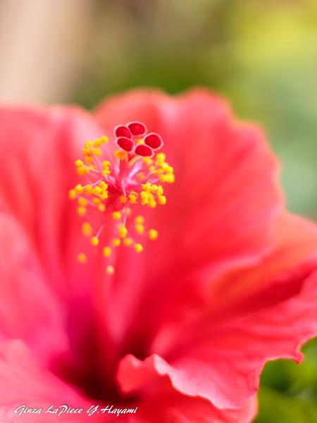 花のある風景 ハイビスカスの雰囲気_b0133053_01031851.jpg