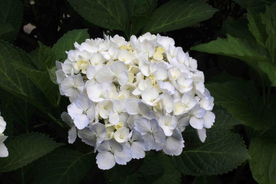 挿し木の植え替え ~白花アジサイ~_a0107574_19265854.jpg