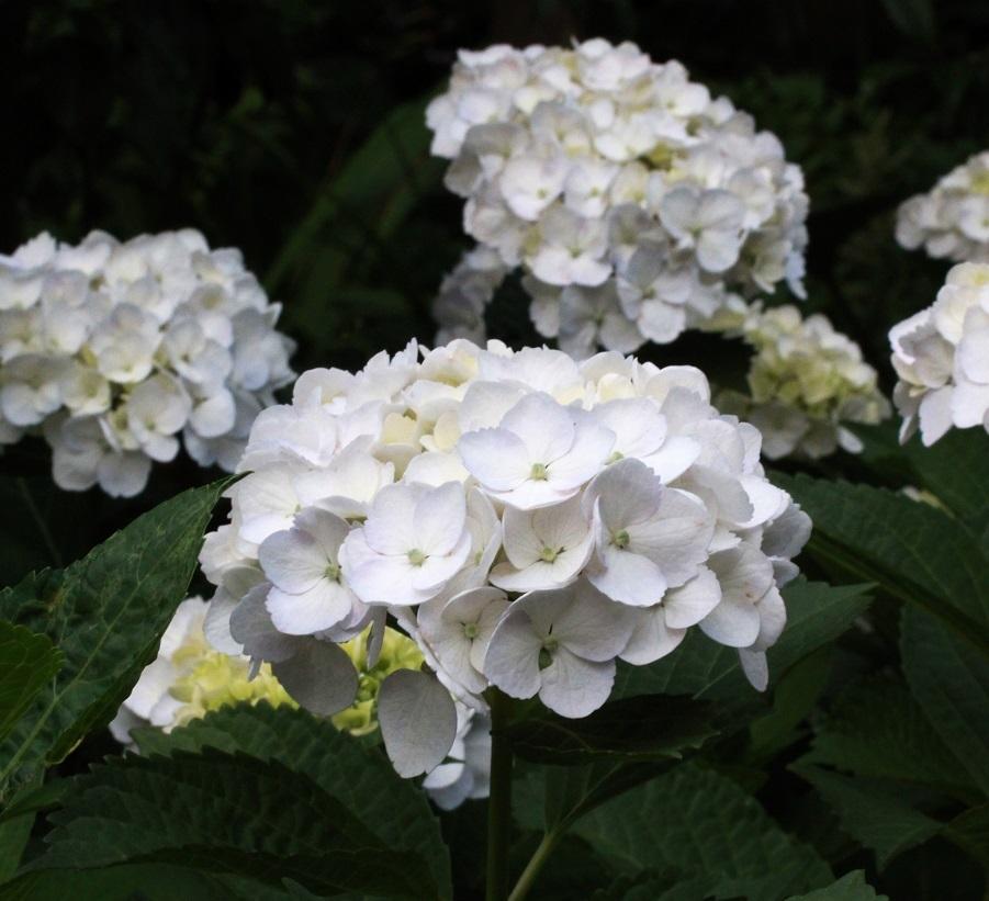 挿し木の植え替え ~白花アジサイ~_a0107574_19273772.jpg