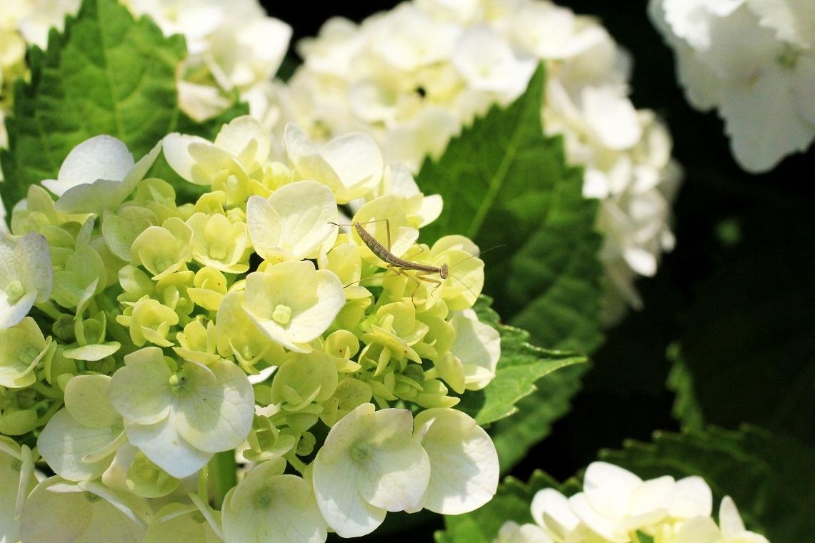 挿し木の植え替え ~白花アジサイ~_a0107574_19274449.jpg