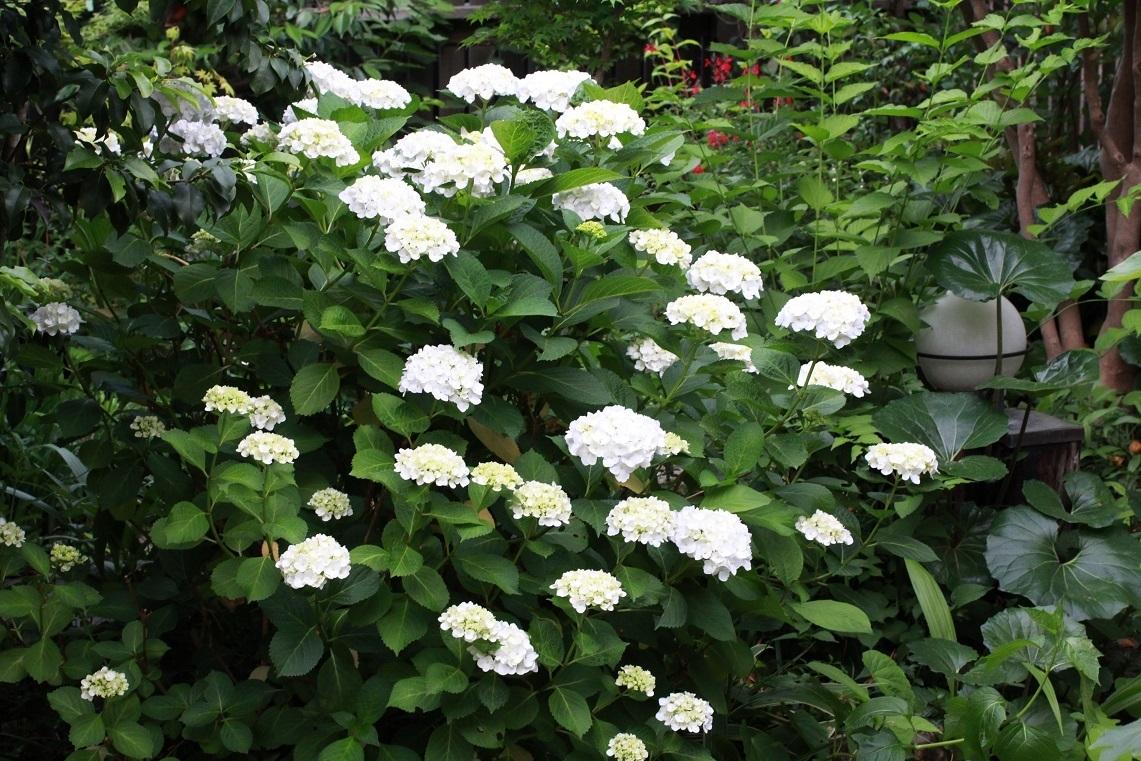 挿し木の植え替え ~白花アジサイ~_a0107574_19275367.jpg