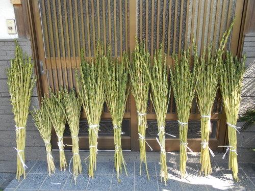 ごま収穫  その1_e0181260_21075844.jpg