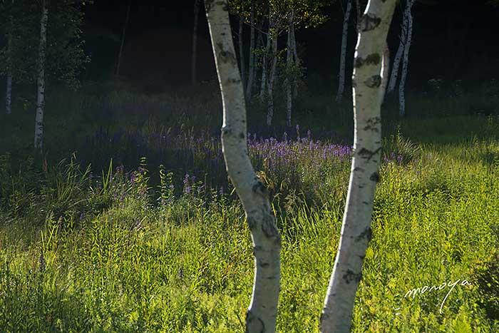 白樺と花の湿原_c0085877_60021.jpg