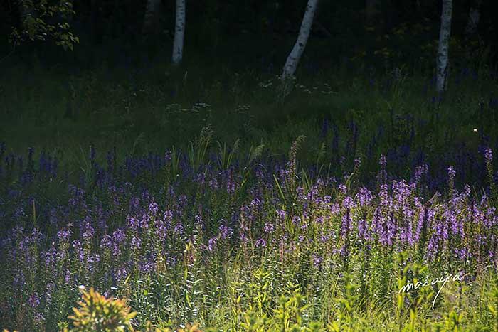 白樺と花の湿原_c0085877_60861.jpg