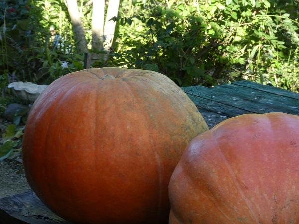 ジャイアントかぼちゃ_e0365880_19215993.jpg