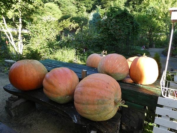 ジャイアントかぼちゃ_e0365880_19221417.jpg