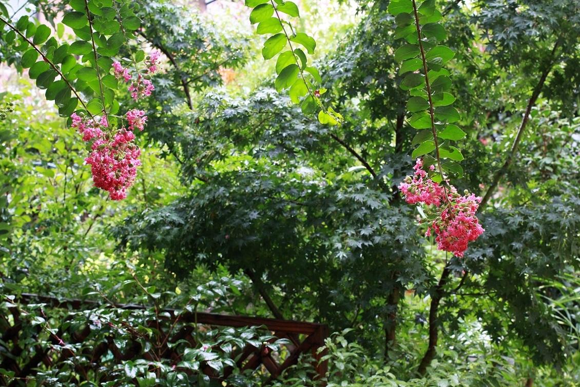 八月も終わりね ~垂れる百日紅の花~_a0107574_18412183.jpg