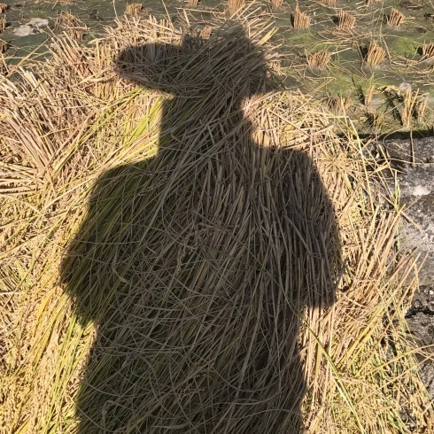 稲刈り...今年はできが良い_f0099102_14390551.jpg