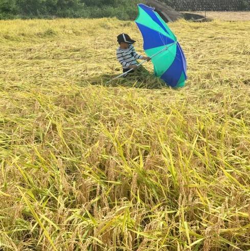 稲刈り...今年はできが良い_f0099102_14391841.jpg